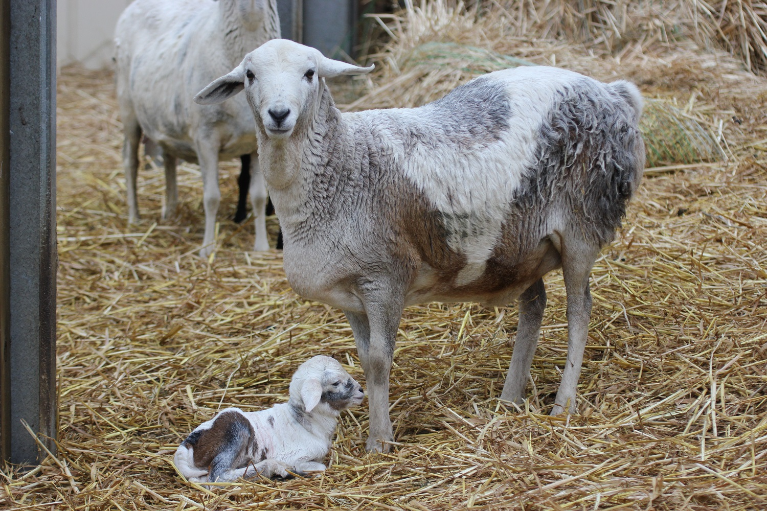 Stud Persian Sheep  Coolibah Pearl with her 2 hour old lamb 29 /7/1